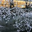 2008 桜